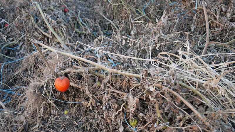 Dried Spoiled Tomato Plants after Harvesting royalty free stock photo