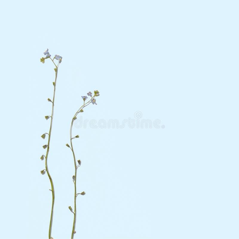 Dried summer flowers. Dried summer flowers on blue background. Wildflower Herbarium. Myosotis scorpiode stock images