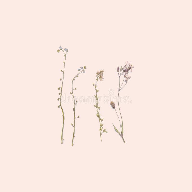 Dried summer flowers on pink background. Wildflower Herbarium royalty free stock image