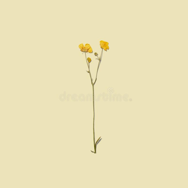 Dried summer flowers. Dried summer flowers on yellow background. Wildflower Herbarium stock photos
