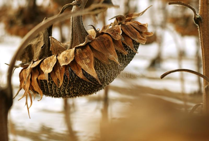 Dried Sunflower stock photography