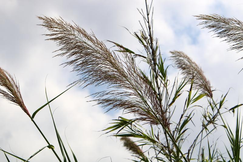 Tall reeds grew on a dried swamp. In a dried swamp in northern Israel, tall reeds royalty free stock image