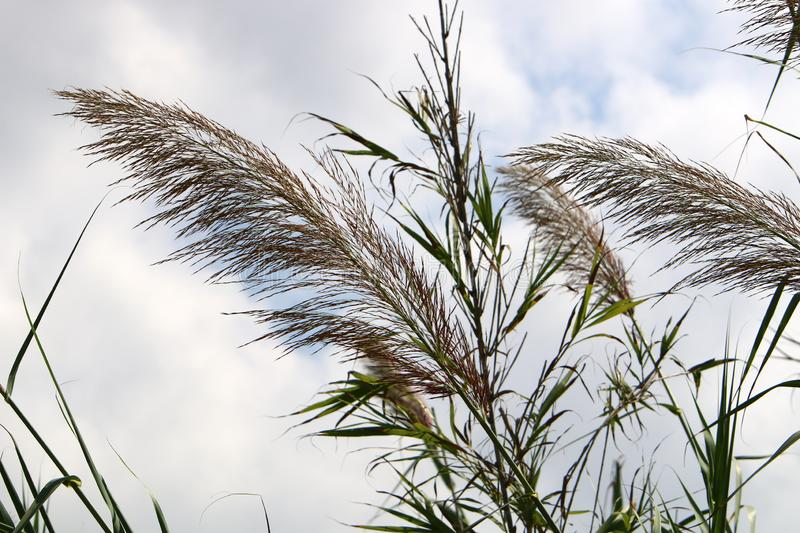 Tall reeds grew on a dried swamp. In a dried swamp in northern Israel, tall reeds royalty free stock photos