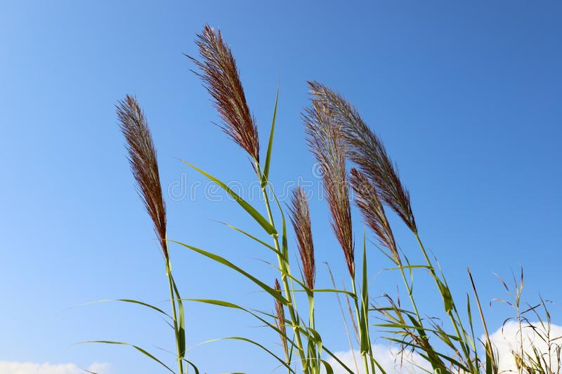 Tall reeds grew on a dried swamp. In a dried swamp in northern Israel, tall reeds stock photo