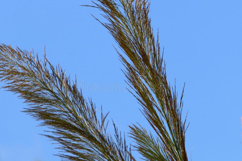 Tall reeds grew on a dried swamp. In a dried swamp in northern Israel, tall reeds stock photos