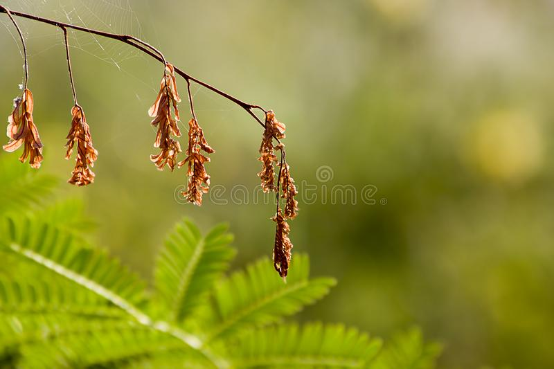 Dried tamarind leaves pattern background texture. stock photography