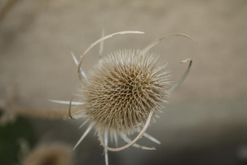 Dried teasel royalty free stock image