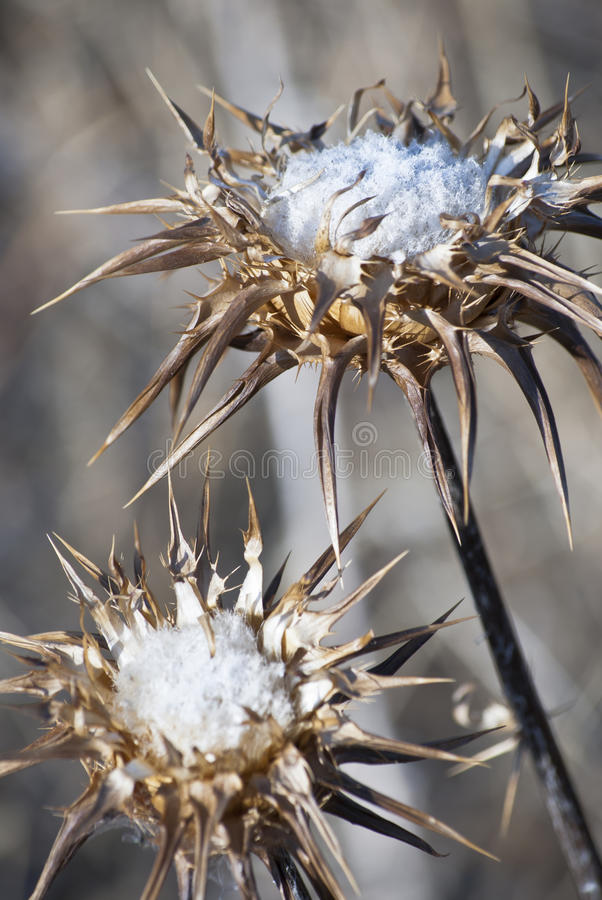Free Dried Thistle Royalty Free Stock Photos - 21637748