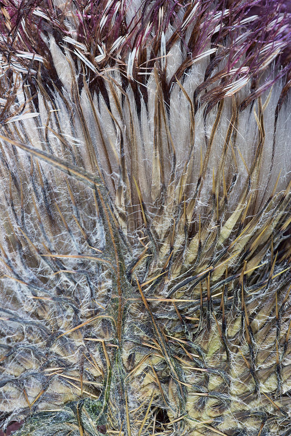 Free Dried Thistle Abstraction Stock Photography - 77403452