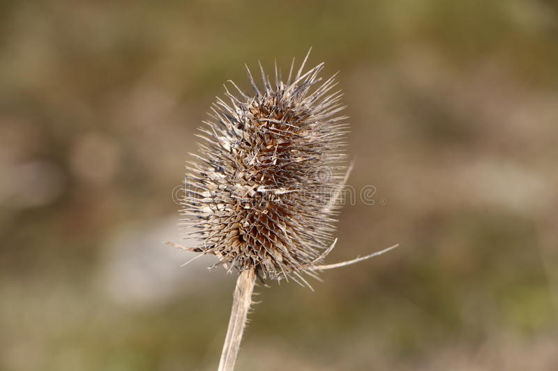 Dried thistle flower. In a field stock images