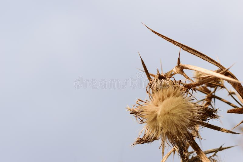 Dried thistle flower head isolated with copy space.  royalty free stock images