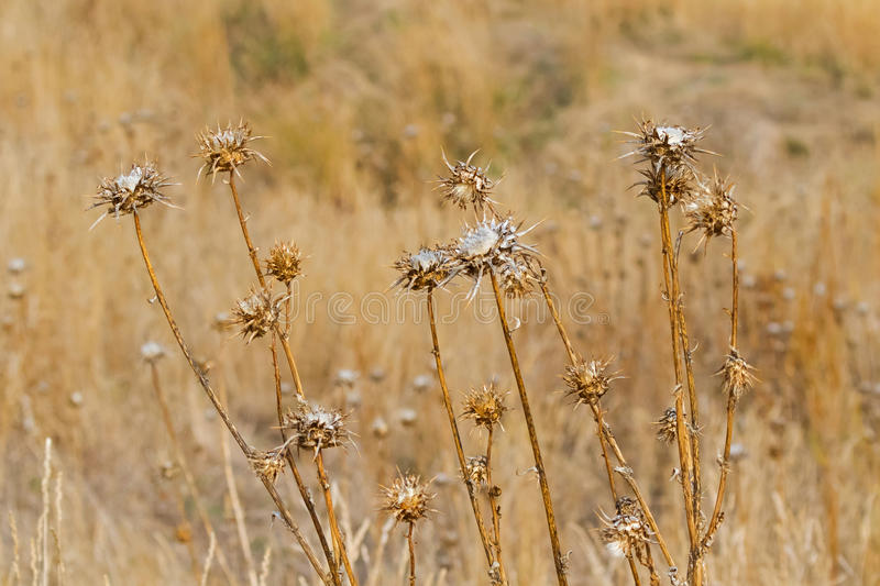 Dried Thistle prickly flower heads growing in meadow during Autumn in Tasmania, Australia. royalty free stock photos
