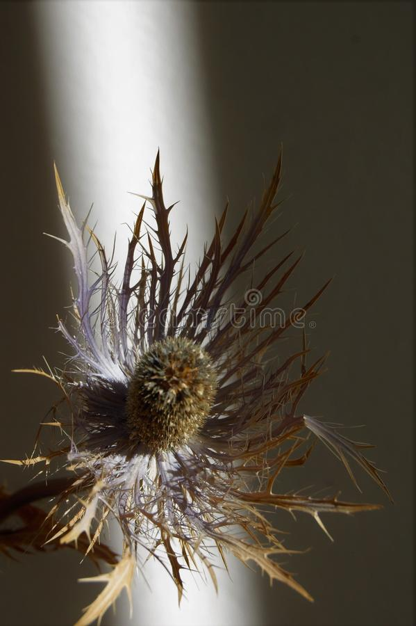 Dried thistle in ray of sunlight stock images
