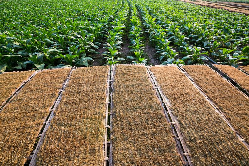 Panel of dried tobacco growers and tobacco. Dried tobacco panels and tobacco growers stock images