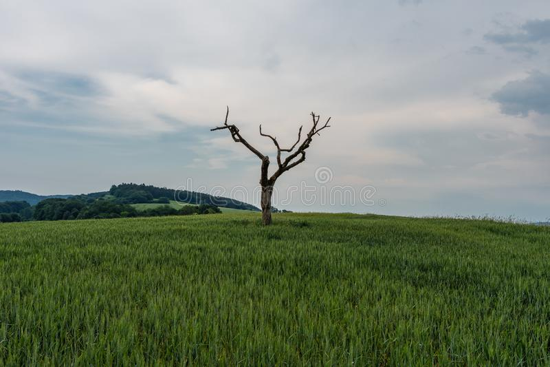 The dried tree in a green field.  royalty free stock photo