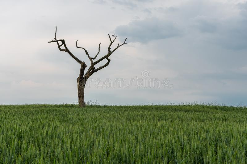 The dried tree in a green field.  stock images