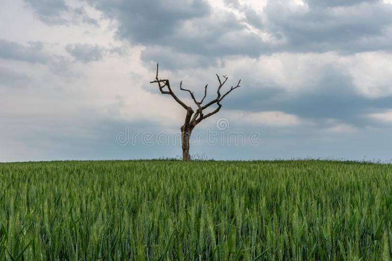 The dried tree in a green field.  stock photography