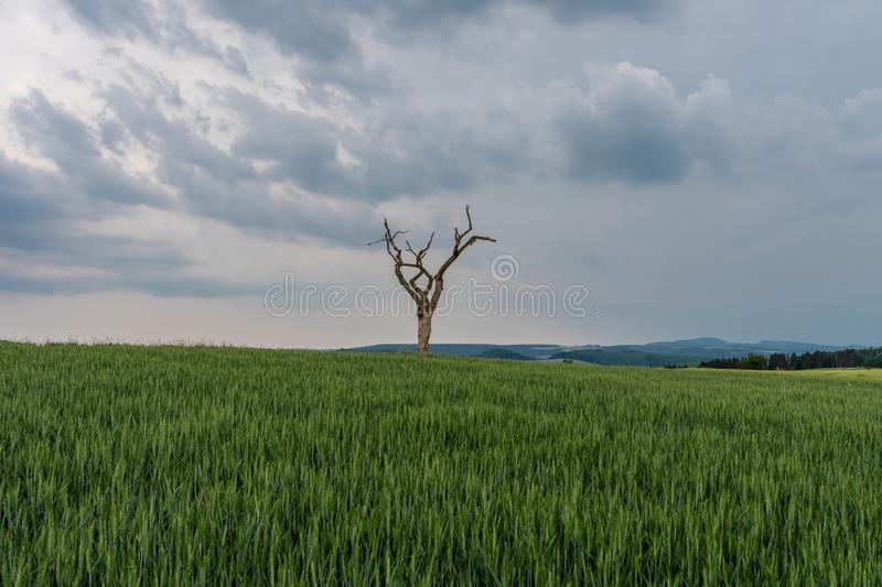 The dried tree in a green field.  royalty free stock images