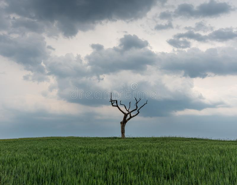 The dried tree in a green field.  royalty free stock photos