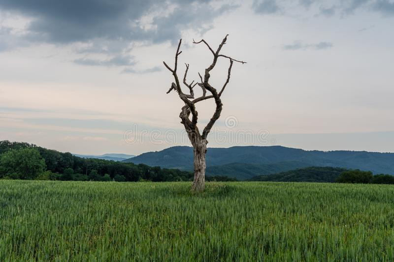 The dried tree in a green field.  stock image