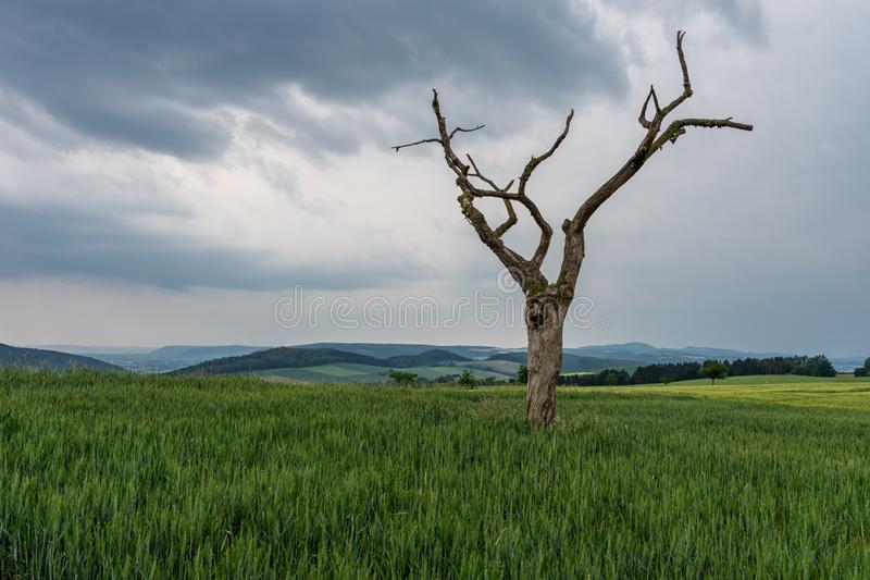 The dried tree in a green field.  stock photo