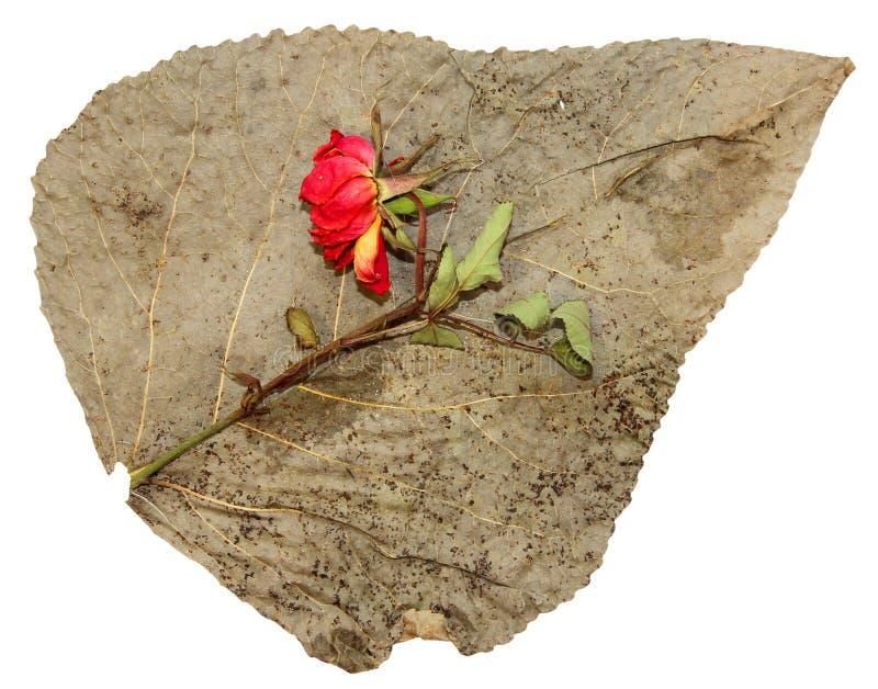 Dried up ha premuto le foglie del pioppo con la rosa rossa immagini stock libere da diritti