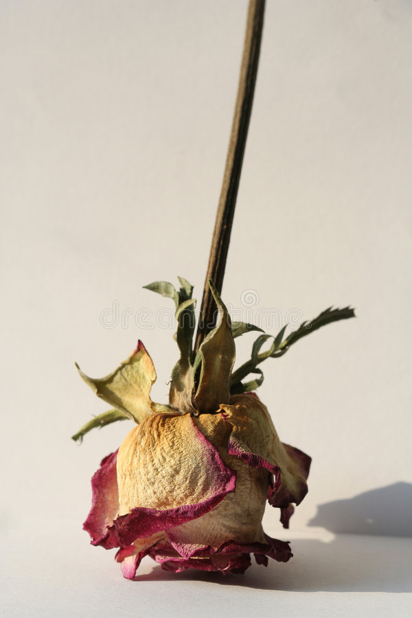 Free Dried-Up Rose Stock Image - 661781