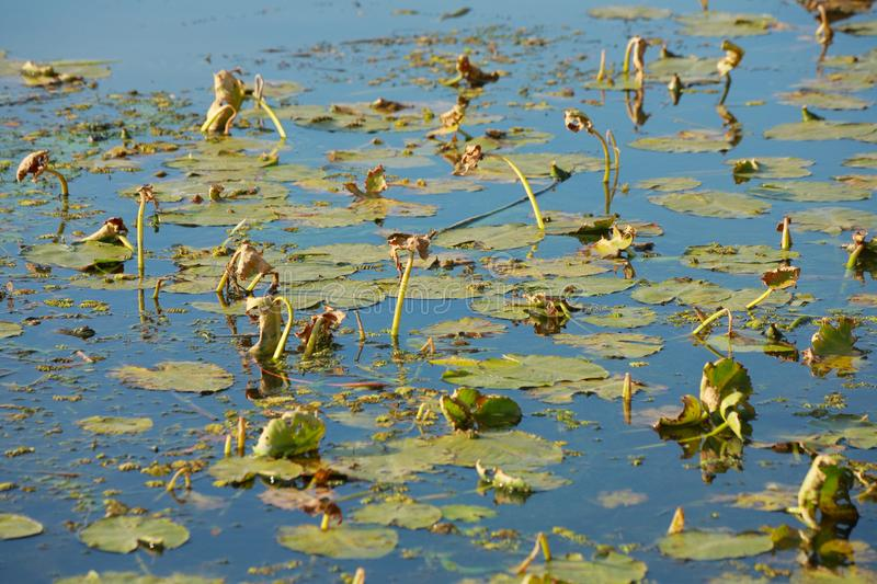 Dried water lilies. Close-up, water royalty free stock photos