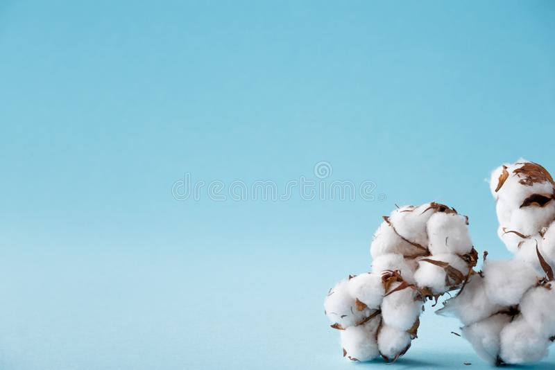 Dried white fluffy cotton flowers on a blue background with copy space. stock photography