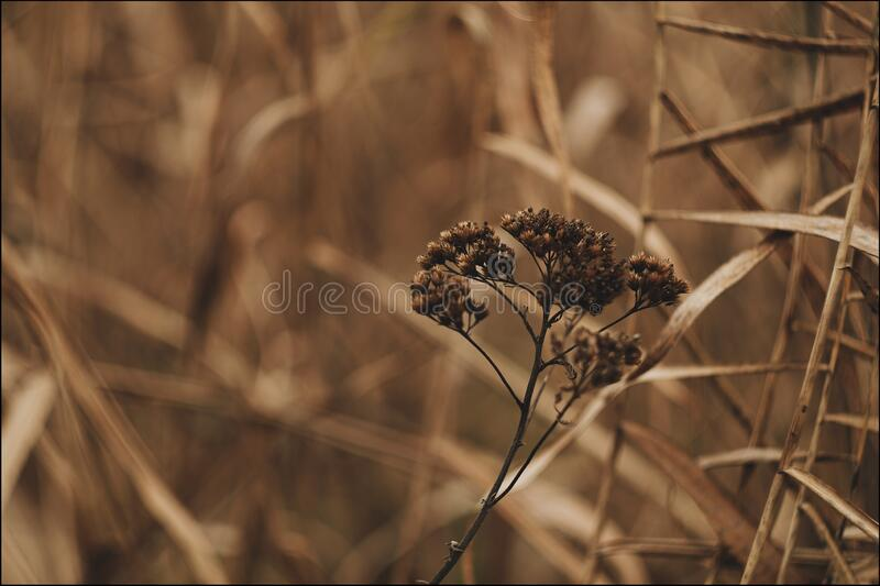 Dried wild flower. Dried brown wildflower in the reeds in autumn with blurry background and bokeh stock image