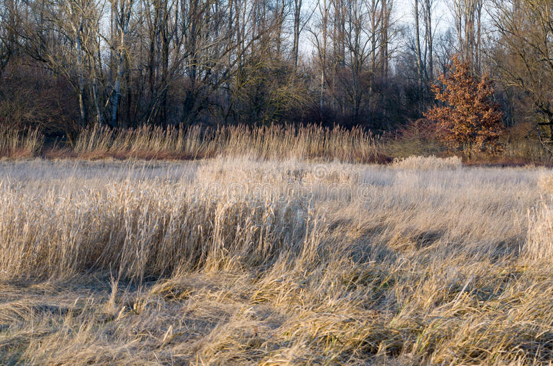 Dried Winter Reeds. In front of Floodplain Forest stock photos