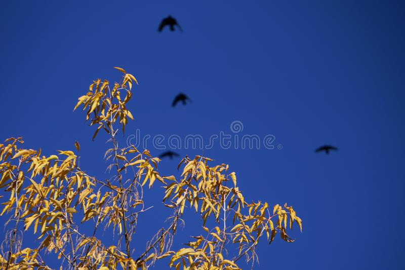 The dried yellow leaves on the branches of an autumn tree, over which four black ravens fly. Withering and symbolism. Daylight royalty free stock photography