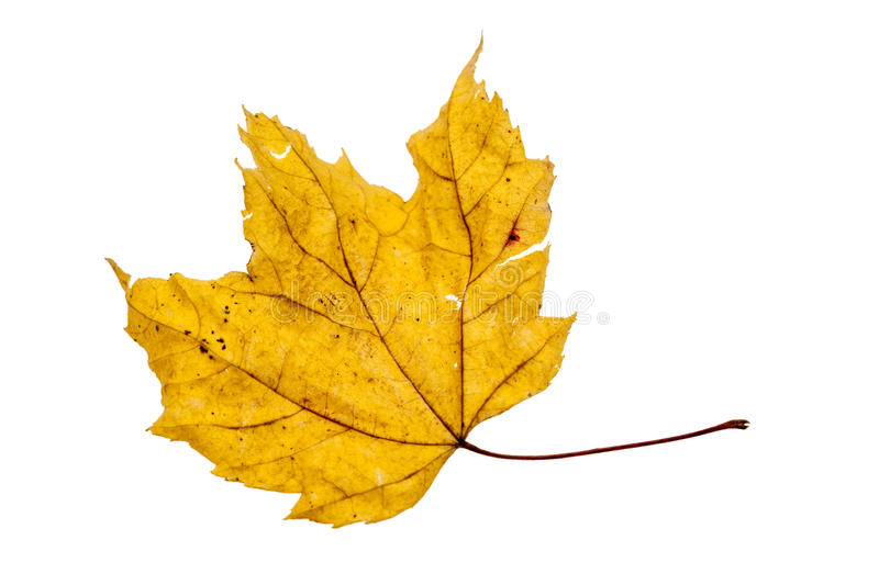 Dried yellow maple leaf isolated on white royalty free stock images
