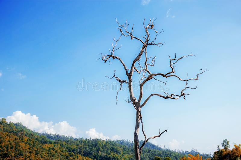 Dries tree with blue sky. Dries tree on hill in summer with the blue sky royalty free stock image