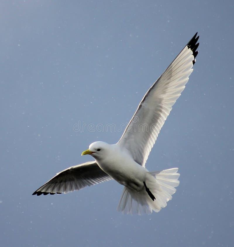 Drieteenmeeuw die in sneeuw vliegen stock afbeelding