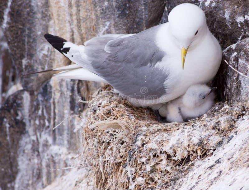 Drieteenmeeuw op een nest stock foto