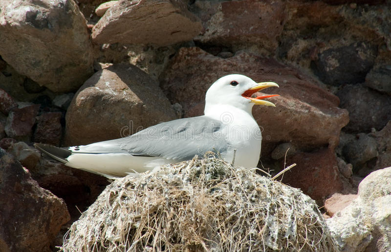Drieteenmeeuw op Nest royalty-vrije stock afbeelding