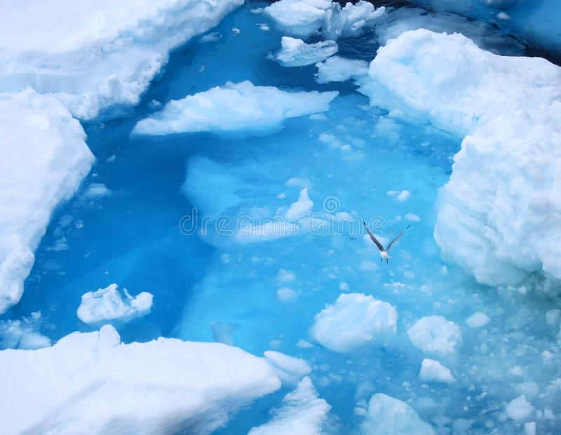 Drieteenmeeuw vliegend boven ijsblauw water, Black-legged Kittiwake flying above ice blue water stock images