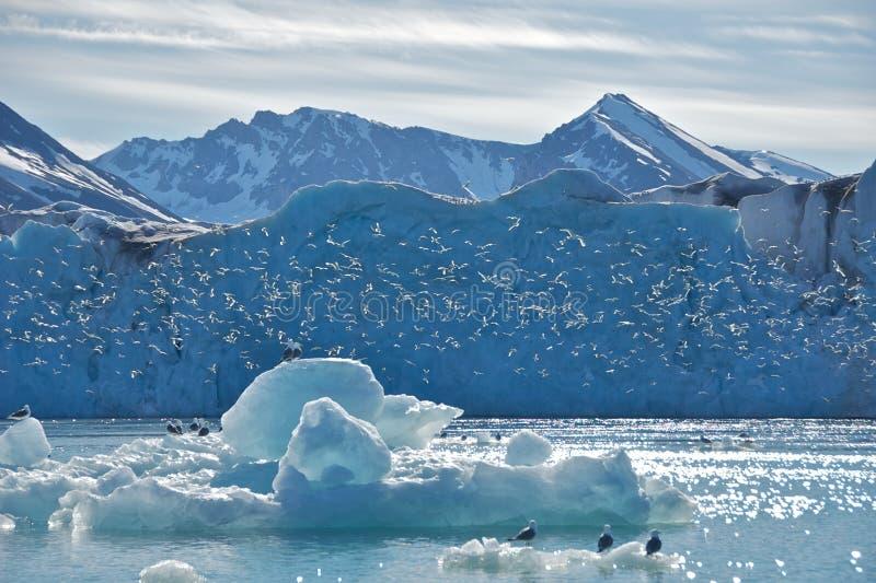 Drieteenmeeuwen bij de Gletsjer van Monaco in Svalbard stock foto