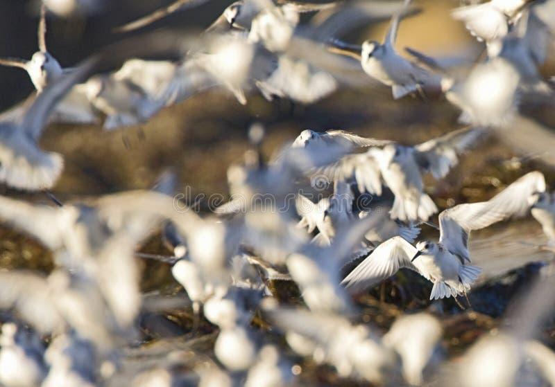 Drieteenstrandloper, Sanderling, Calidris alba, photos libres de droits