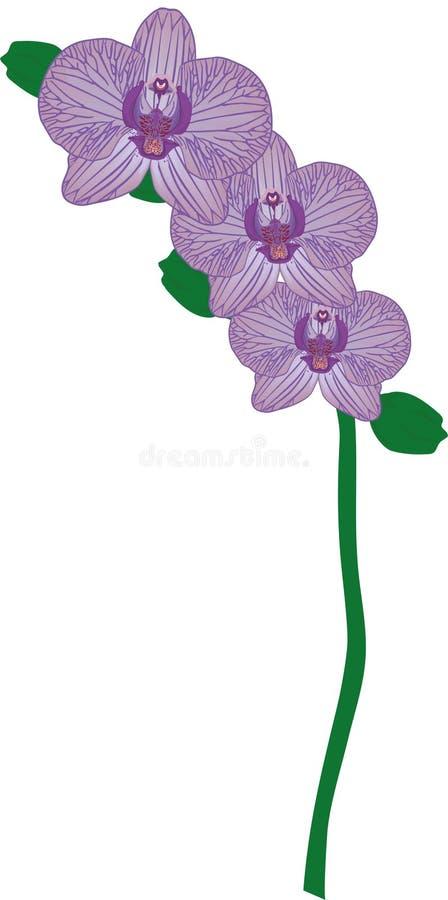 Drievoudige Adersorchidee royalty-vrije stock afbeelding