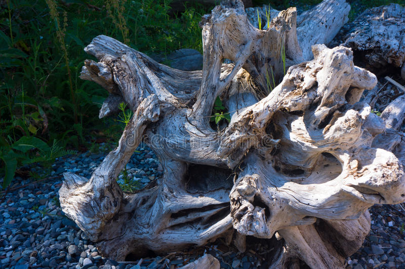 Driftwood Tree Roots royalty free stock images
