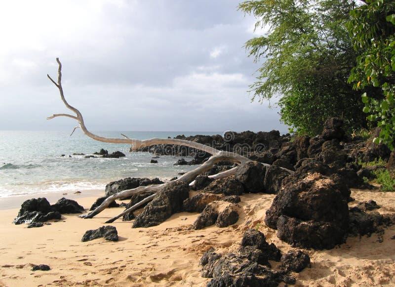 Drift Wood on Lava Rocks and Sand stock image