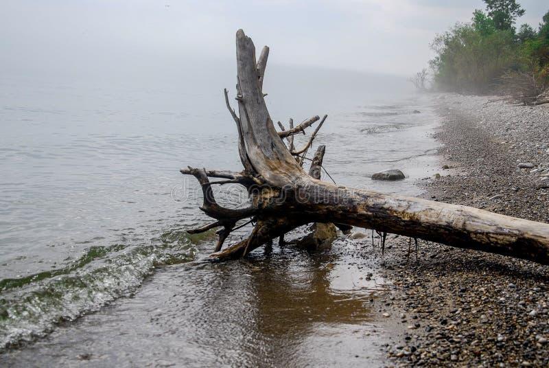 Drift Wood Tree on the foggy Lake Michigan Shore stock images