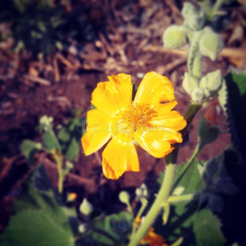 Driftig gul blomma arkivbilder