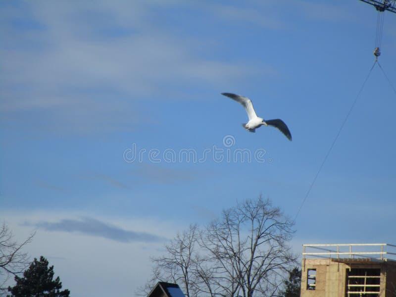 Driftig Seagull som flyger nära konstruktionsområde i stad royaltyfri fotografi