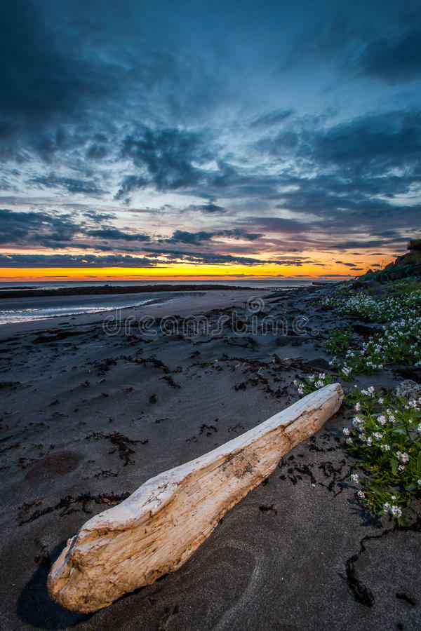 Driftwood at beach. A large weathered driftwood log on the beach in sunset royalty free stock photography