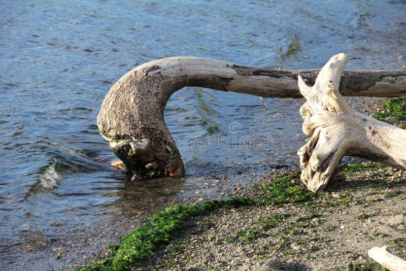 Driftwood bela, Wyginająca się zdjęcia stock