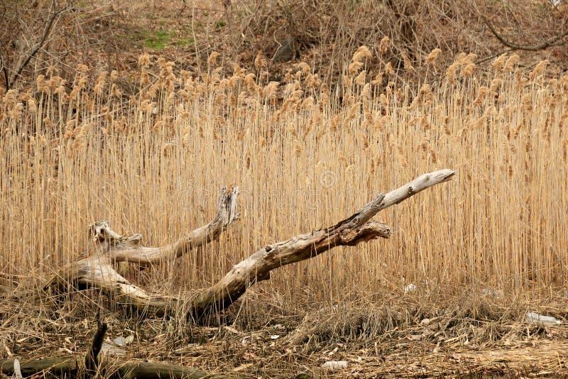Driftwood. A big piece of driftwood with beachgrass stock photo