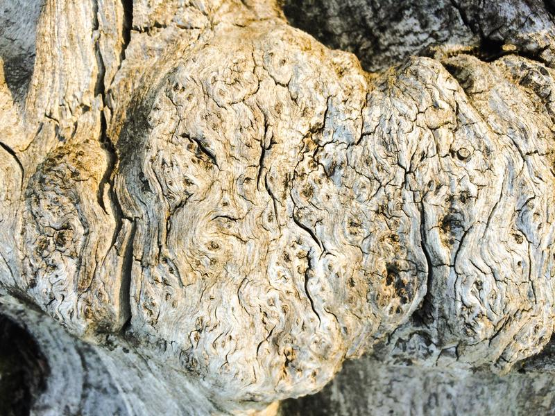 Driftwood Burl royalty free stock photography